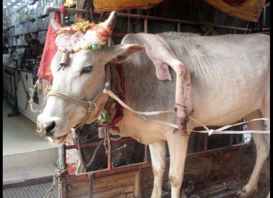 "This five-legged cow's owner, Laxman Bhosale, said the cow ""holds the essence of Hindu religion"" and touching its fifth leg w"