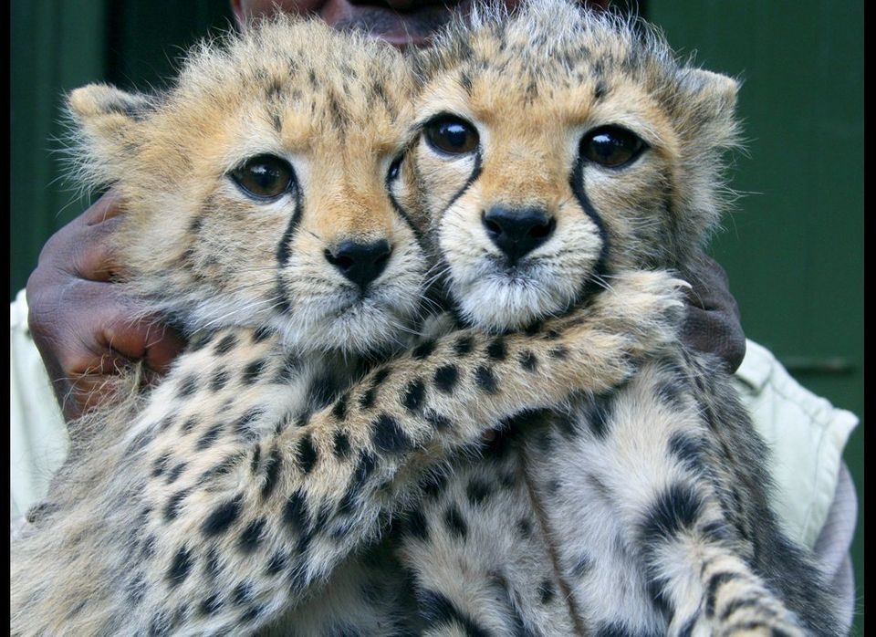 Godfrey Mutuku Jones, a caretaker at Kenya's Wildlife Service orphanage, holds two, 3-month old female Cheetah cubs at the Na