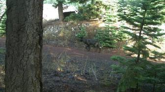 Camera captures animal that appears to be a gray wolf that has traveled into Siskiyou County.