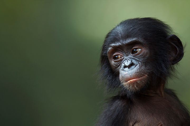 <span>Bonobos (like the baby bonobo pictured here) use a type of call that alters meaning depending on context, similar to&nb