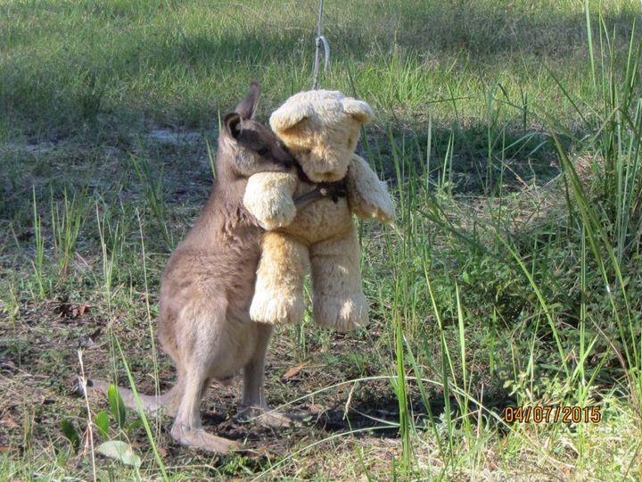 Doodlebug, an orphaned kangaroo, with his teddy bear friend.