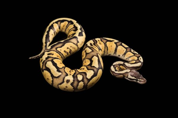 "<a href=""http://gawker.com/248978/python-on-the-loose-at-google"">A Google employee's ball python escaped</a> in the NYC"