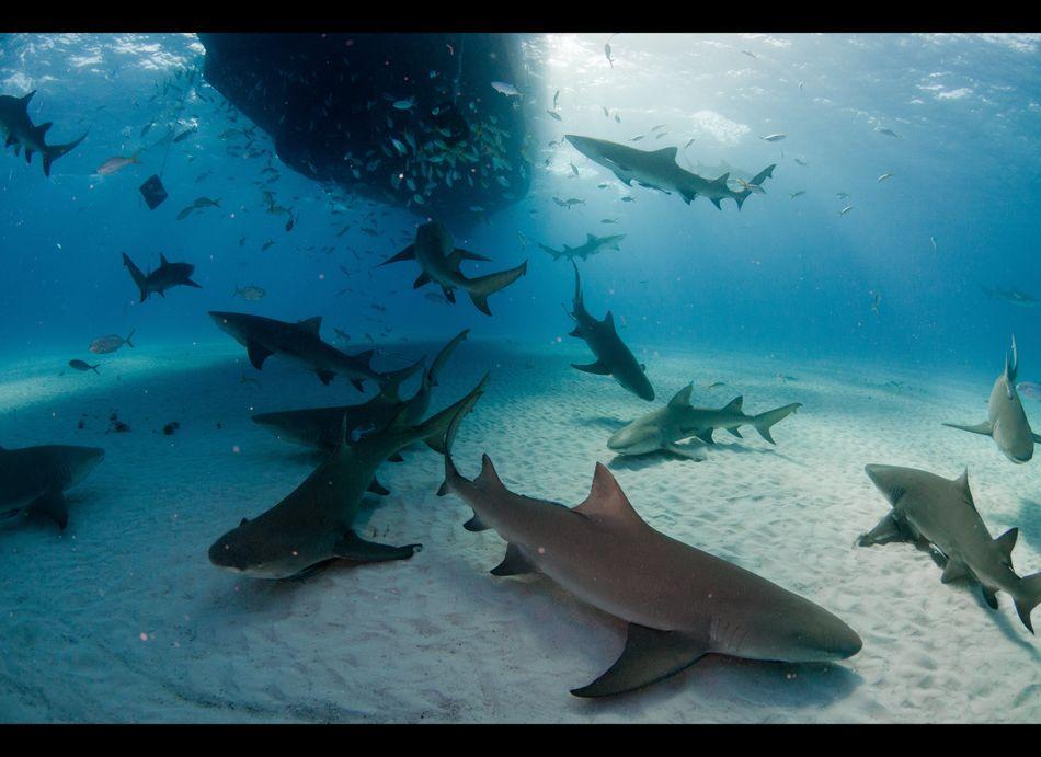 Great white shark stuns florida fishermen by stealing for Great white shark fishing