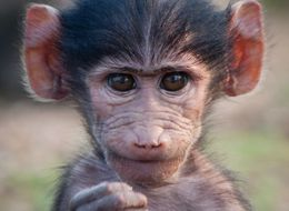 Woman Abducts Baby Baboon From Zoo As Gift To Deaf Son