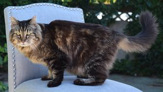 """Corduroy, a 26-year-old cat in Sisters, Oregon, has just been declared """"World's Oldest Cat."""""""