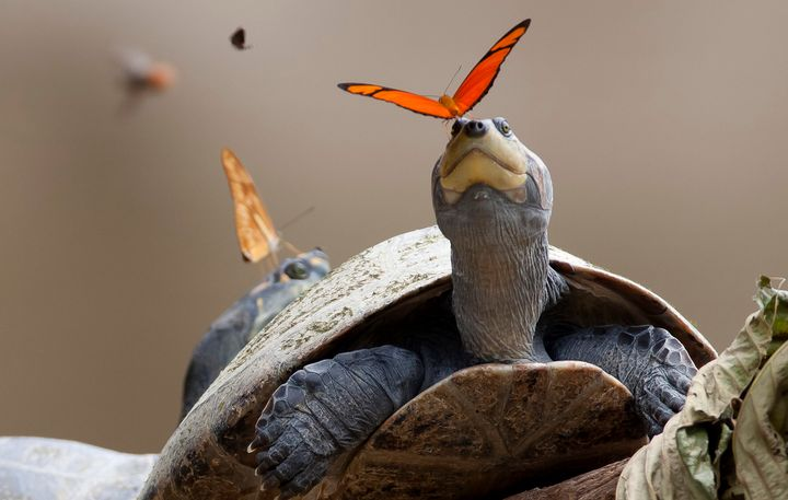 The butterflies ingest needed minerals through the turtles' tears.
