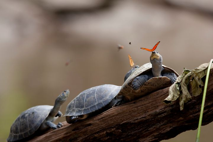 Julia butterflies drink turtle tears in the Amazon.