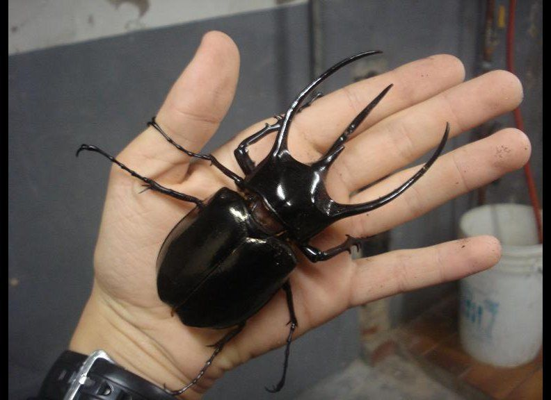 The Atlas beetle can push around 850 times its weight.