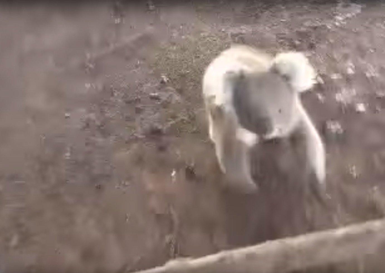 A koala chases a woman in a four-wheeler.