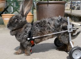 Bunny Wheelchair Is Huge Help For Giant Rabbit Who Couldn't Walk