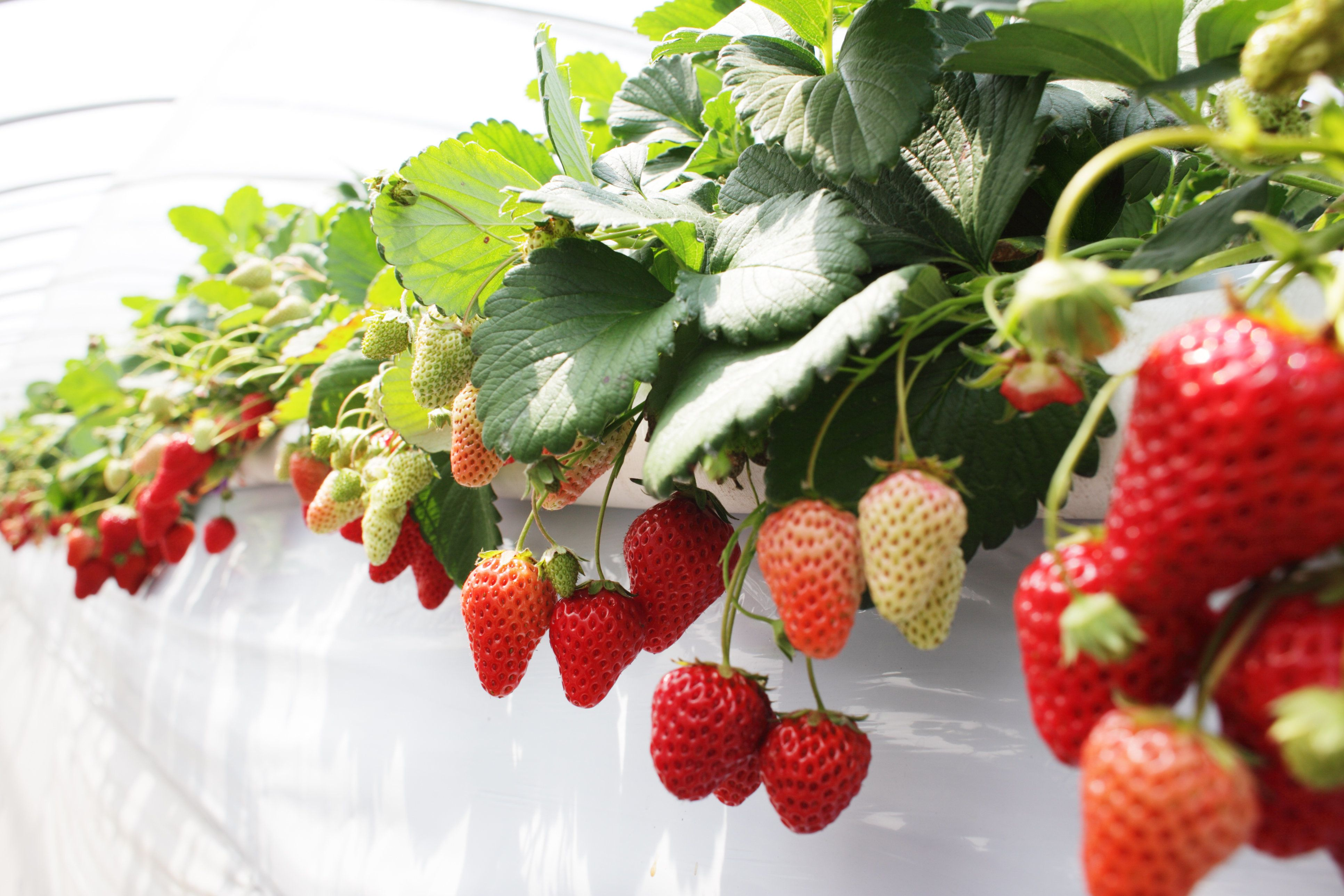 Greenhouse of strawberry
