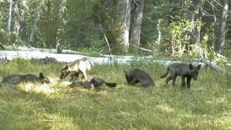 Pups from the first confirmed wolf pack in California in nearly a century.