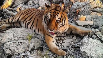 <p>Tiger brought to the Packard Plant in Detroit for a photo shoot on August 17, 2015.</p>