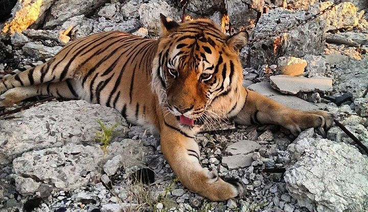 Tiger brought to the Packard Plant in Detroit for a photo shoot on August 17, 2015.
