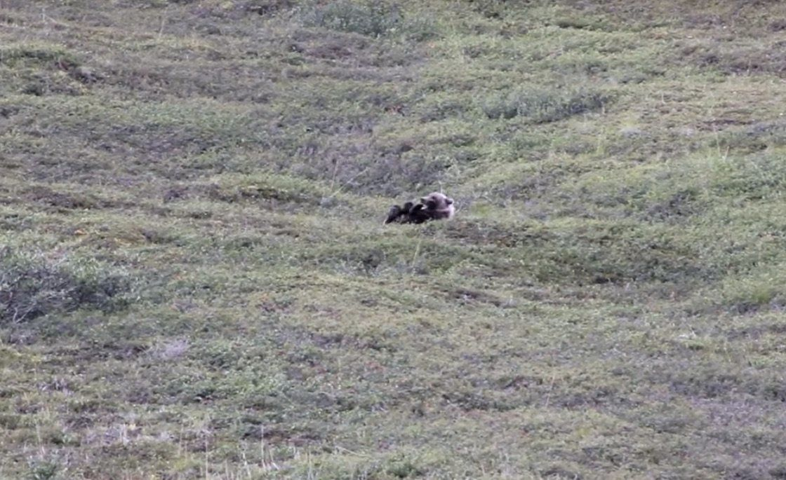 Grizzly bear rolls down a hill