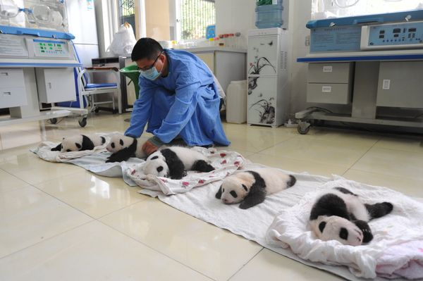 A Chinese employee places giant panda cubs on the floor at the Ya'an Bifengxia Giant Panda Breeding and Research Center in Ya
