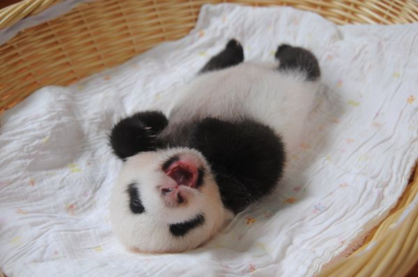 Ten tiny panda cubs made their first public appearance at China's Ya'an Bifengxia Giant Panda Breeding and Research Center in