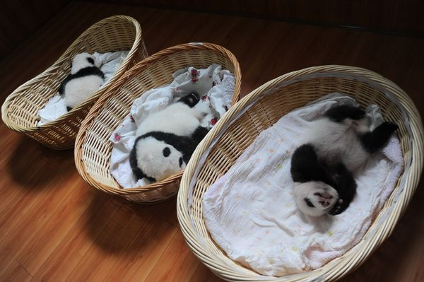 Giant panda cubs are pictured in baskets at the Ya'an Bifengxia Giant Panda Breeding and Research Center in Ya'an city, south