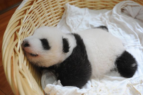21 Aug 2015, Ya'an, Sichuan Province, China --- A giant panda cub is pictured in a basket at the Ya'an Bifengxia Giant Panda