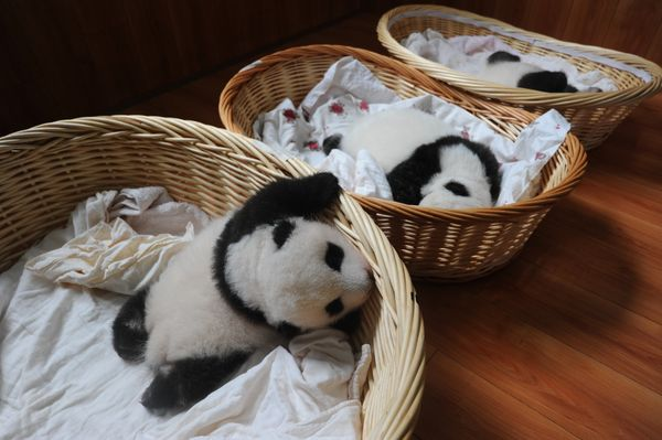 21 Aug 2015, Ya'an, Sichuan Province, China --- Giant panda cubs are pictured in baskets at the Ya'an Bifengxia Giant Panda B
