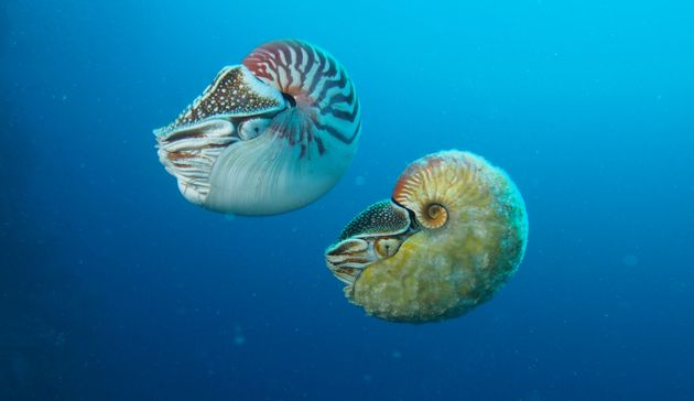 "<span class='image-component__caption' itemprop=""caption""><em>Nautilus pompilius</em> (left) swimming next to a rare <em>Allonautilus scrobiculatus</em>.</span>"