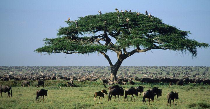 <span>Wildebeests&nbsp;in the Serengeti.</span>