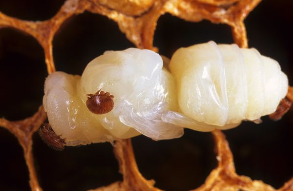 The Varroa mite, seen here latched onto a bee pupae, is the most significant pest to honeybees around the world.