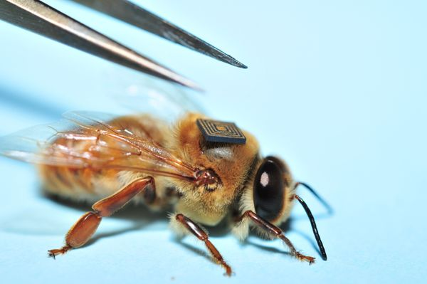 A sensor is placed onto the back of a drone bee. Data gathered by the Global Initiative for Honey bee Health (GIHH) will prov