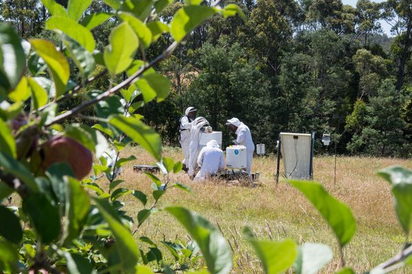 Scientists check bee hives in Tasmania's Huon Valley.