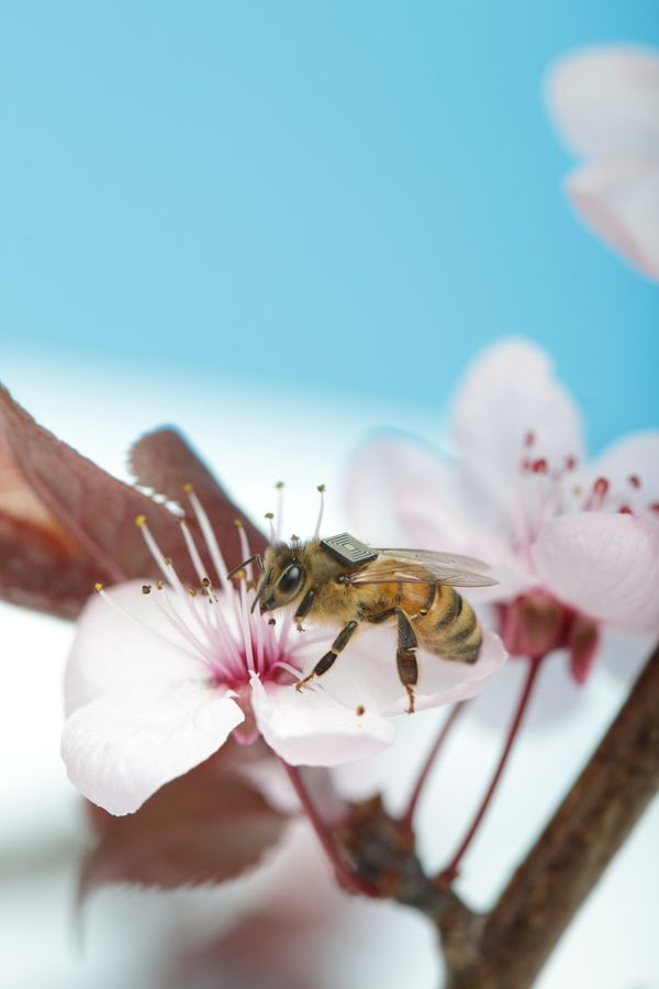 The health of honey bees is under increasing pressure on a global scale. The impact of losing the free pollination services p