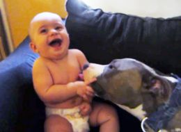 LOOKOUT! Big, Bad Pit Bulls Are Coming For You... With Kisses