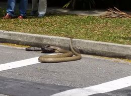 WATCH: Python Fights King Cobra On Singapore Street