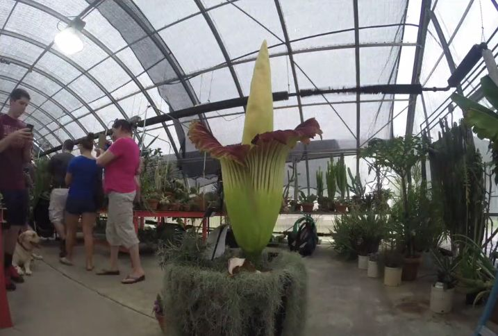 Stinky Phil in the greenhouse at Virginia Tech.