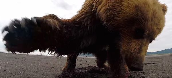 This Grizzly Bear Thinks Your GoPro Sucks