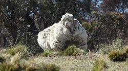 FOTOS: Esta ovelha precisa desesperadamente de uma