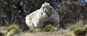 OVERGROWN SHEEP