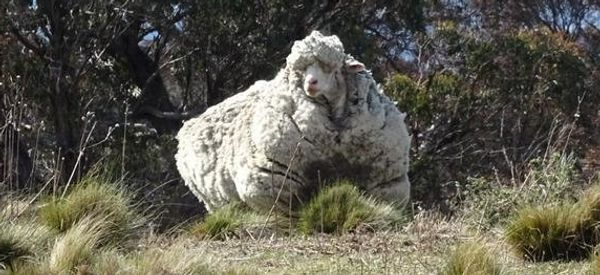 Heavily Overgrown Sheep Desperately Needs A Trim