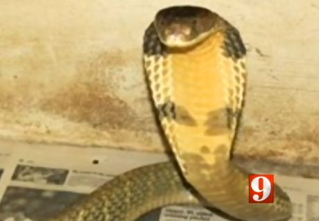 Mike Kennedy, who operates the Dragon Ranch exotic animal shelter in Orlando, reported a male king cobra missing on Wednesday