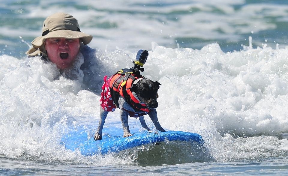 Surf dogs catch a wave at the 5th Annual Surf Dog competition at Huntington Beach, California, on September 29, 2013. (AFP/Ge