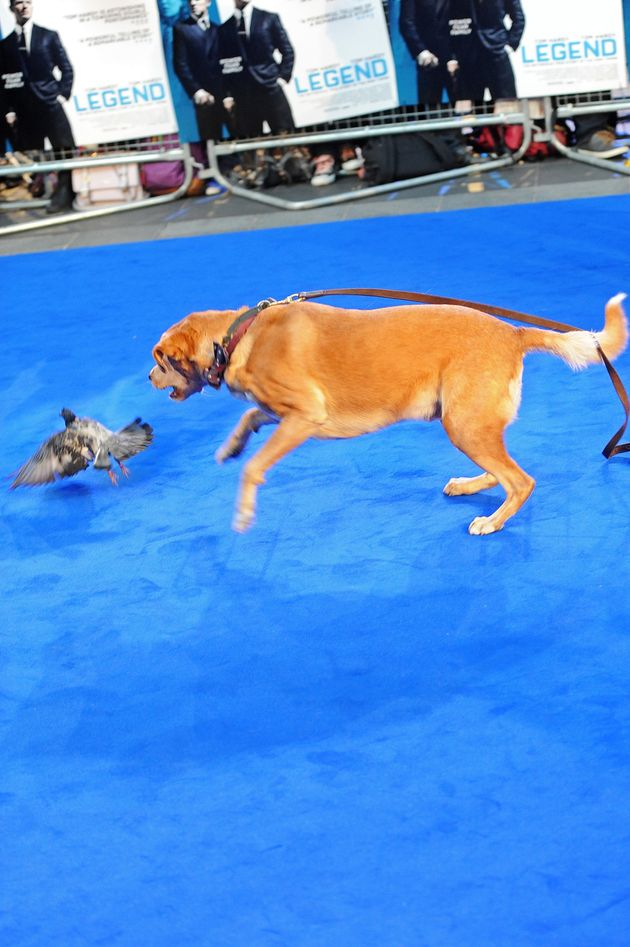 Tom Hardy Brings His Dog To Legend Premiere And The Red