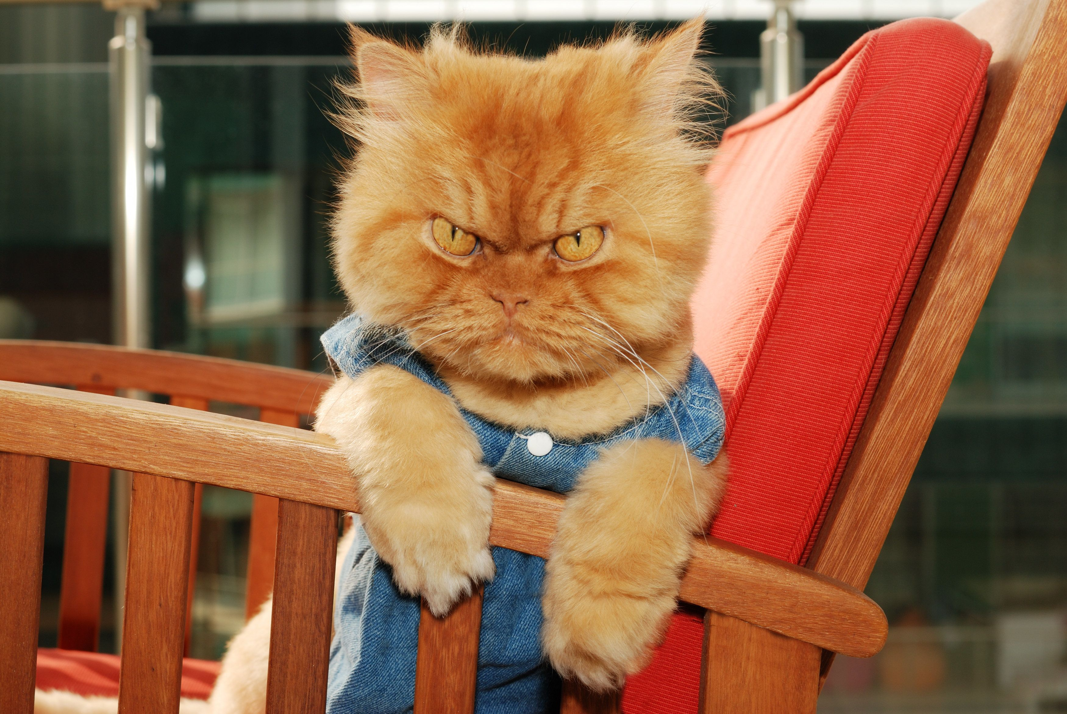 A grumpy Persian domestic cat. A new study suggests that domestic cats don't rely on their owners for safety and security.