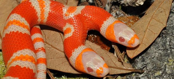 This 2-Headed Albino Snake Tries To Eat Itself