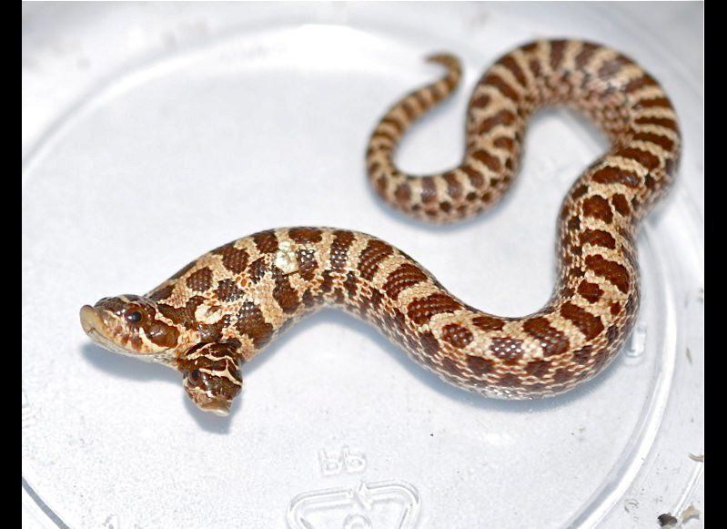 This two-headed hognose snake is the newest member -- or members -- of Todd Ray's collection of multi-headed animals. It is a