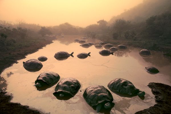 Giant tortoises at dawn in the Galapagos Islands.