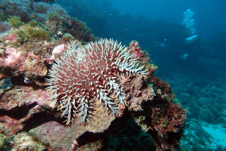 The crown of thorns starfish is native to Australia and the wider Indo-Pacific. It preys on coral polyps and is currently one