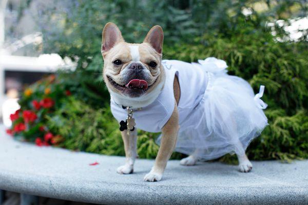 "Chloe's poppin that Jimmy Choo collar in her tutu from Martha Stewart For PetSmart (<a href=""https://instagram.com/chloethemi"