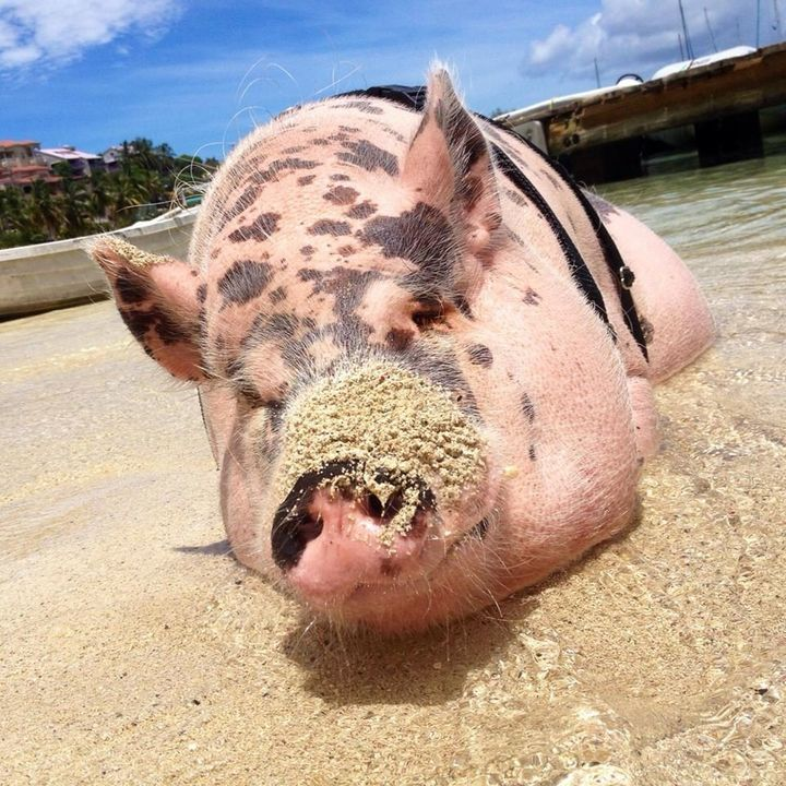 well traveled 250 pound pig who s flown private is living the good