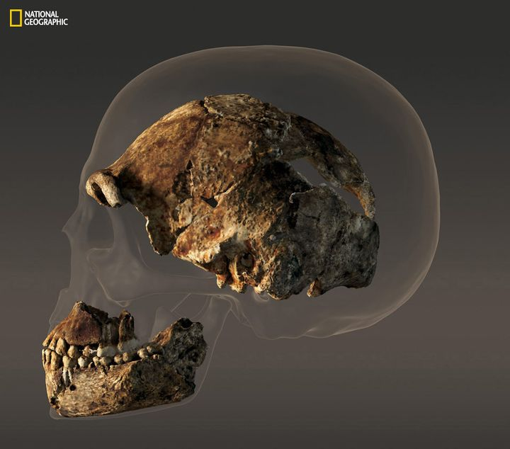 The braincase of a composite male skull of <em>H. naledi </em>that measures about 560 cubic centimeters i