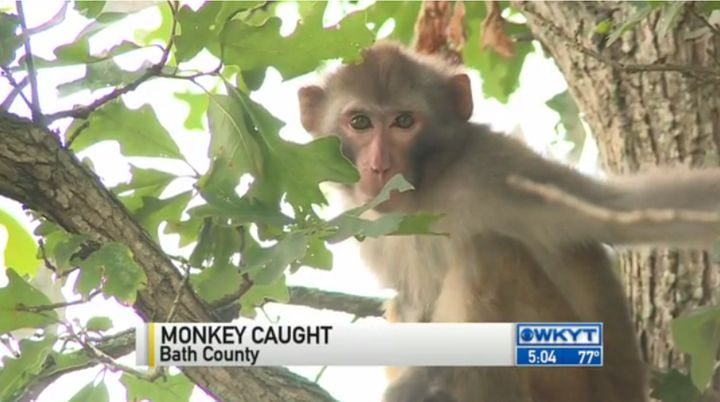 This long-tailed macaque spent two long days on the run before authorities finally caught up.
