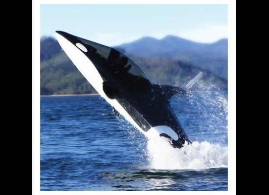 "Explore like never before in this two-person watercraft that ""breaches and submerges just like the  <em>Orcinus orca</em> aft"